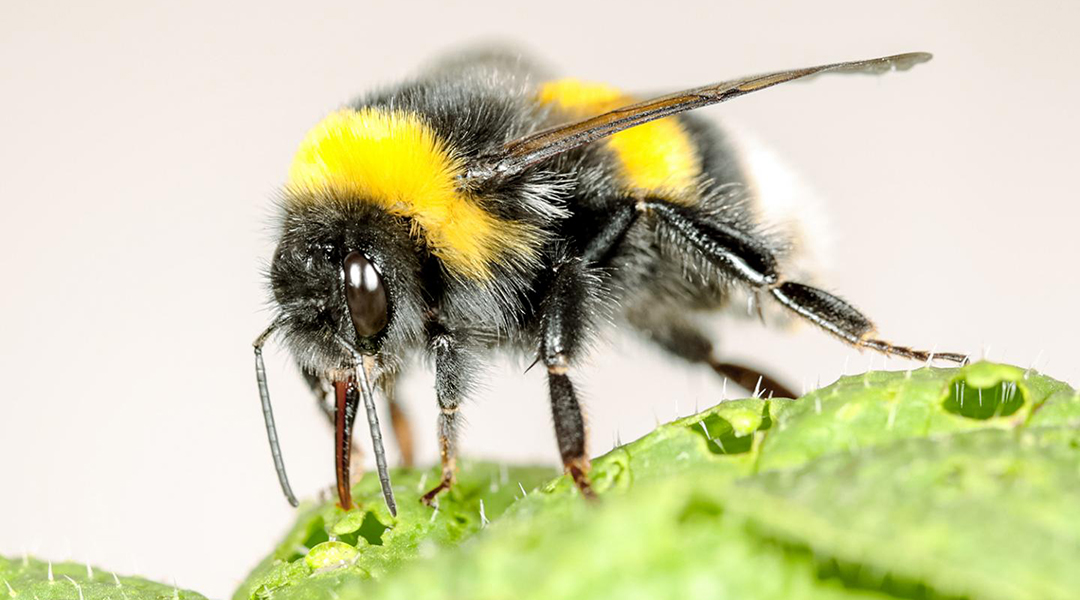 With a little nudge, bumblebees speed up flowering