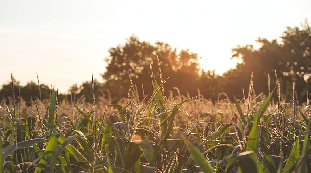 Unlocking the secrets of herbicide-resistant weeds