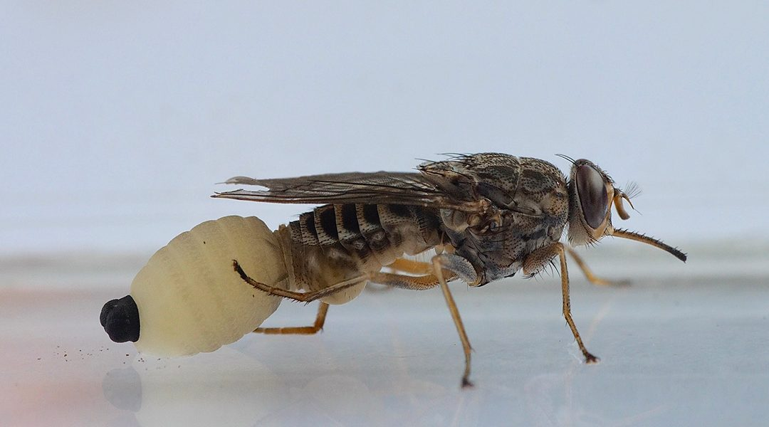Meet the tsetse fly, the supermom of the insect world