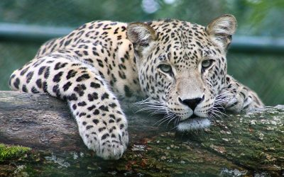 Detailed study of leopard genome finds surprising levels of diversity