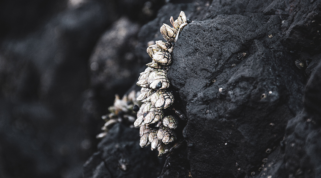 A powerful underwater glue inspired by barnacles and mussels